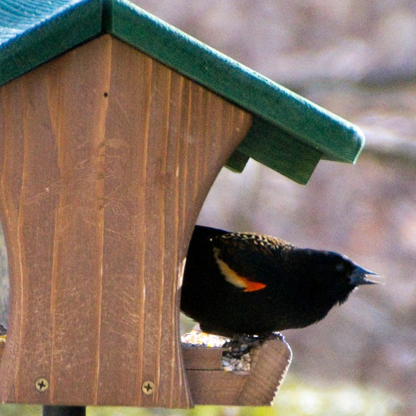 02-Red-winged-blackbird-2014-03-06