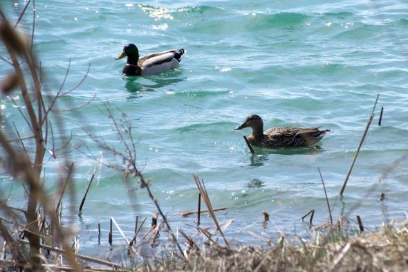 03-ducks-2014-04-21