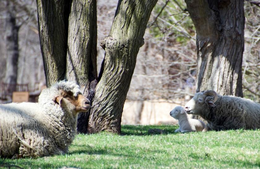 14-Sheep-2014-04-10-1000