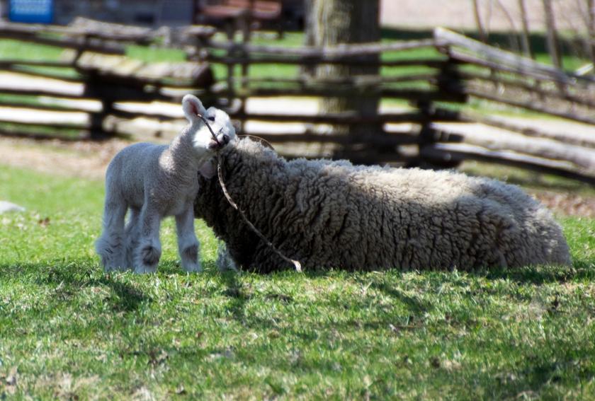 15-Lamb-2014-04-10-1080