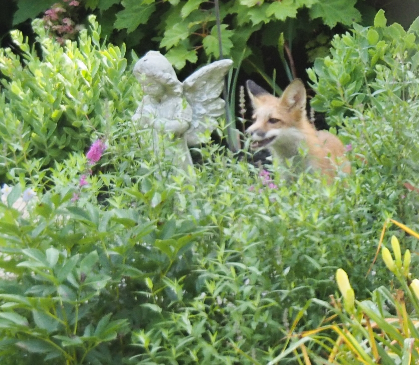 Red fox kit in garden