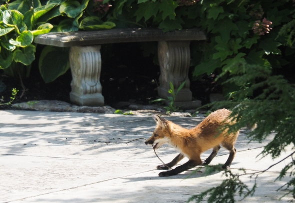 Playful red fox kit