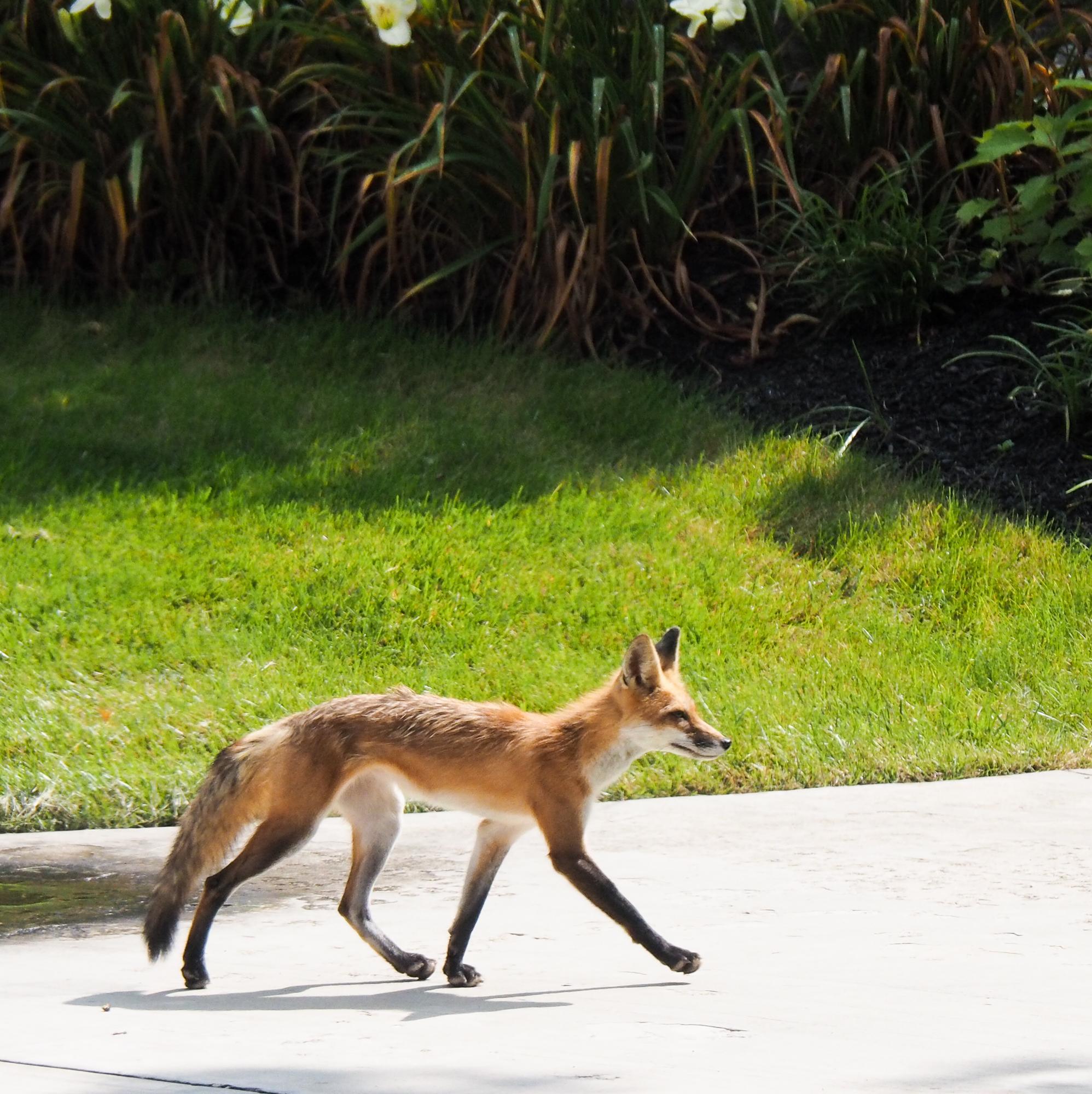 Kit red fox