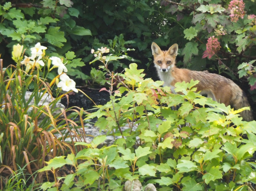 Red fox in garden