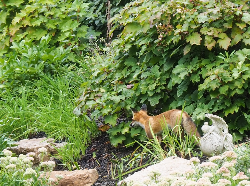 September 2, 2014. This red fox was lurking behind a bush in my garden. A doe and fawn were nearby.