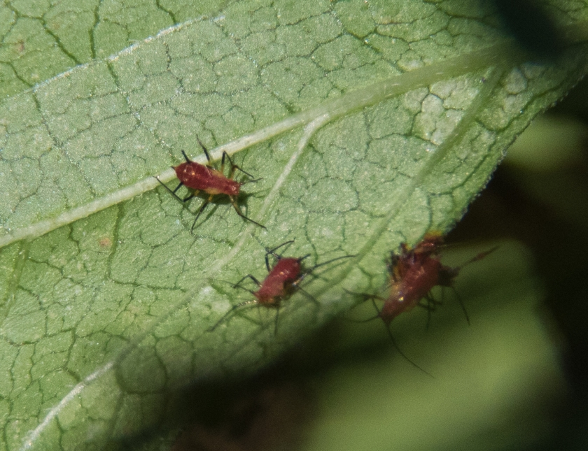 Zelus longipes - Milkweed Assassin Bugs maybe