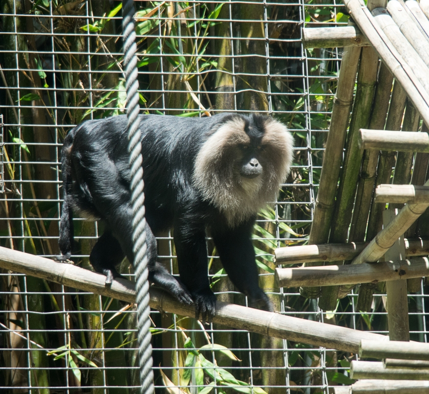 San Diego zoo macaque