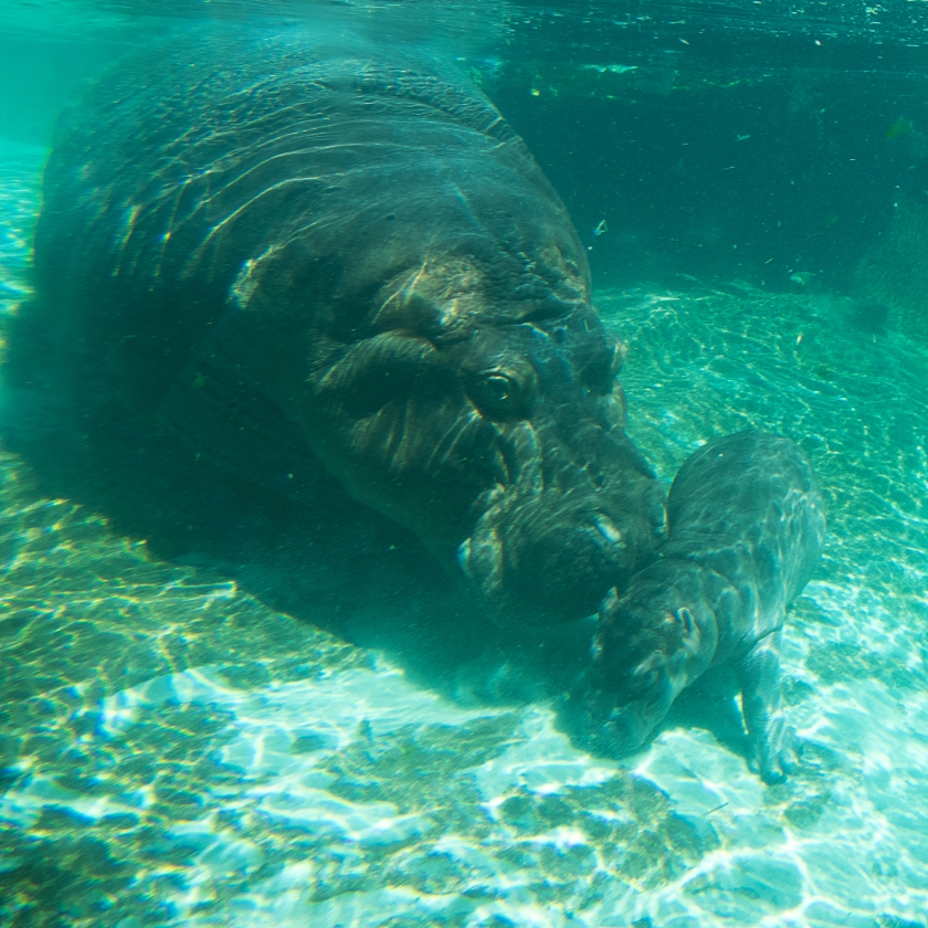 Mother and baby hippo swimming